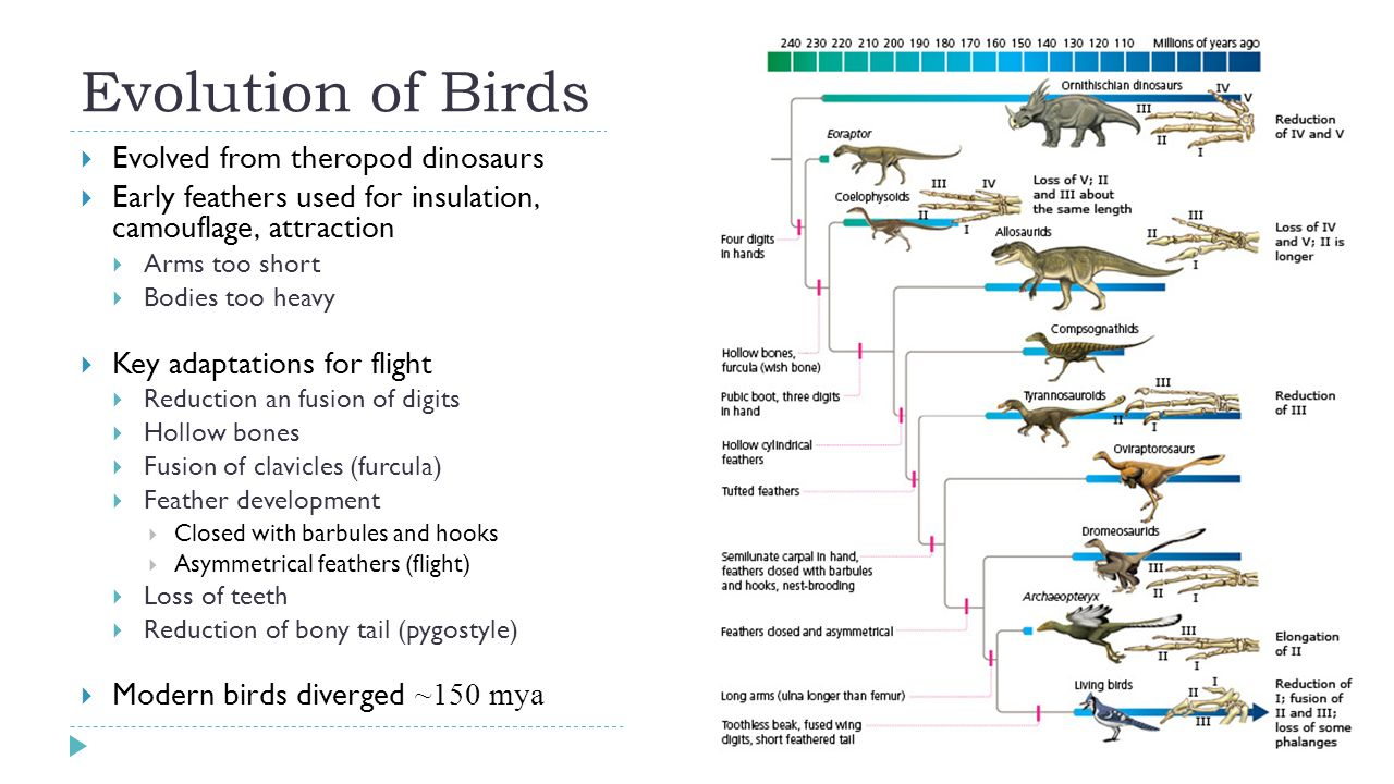 Birds What Is A Bird Endothermic Vertebrate High Metabolic Heart Diagram 3 Evolution