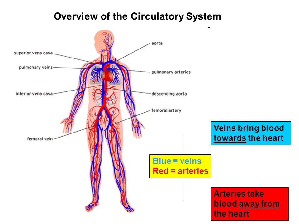 Circulatory system the circulatory system the circulatory system in 4 overview of the circulatory system blue veins red arteries veins bring blood towards the heart arteries take blood away from the heart ccuart Choice Image