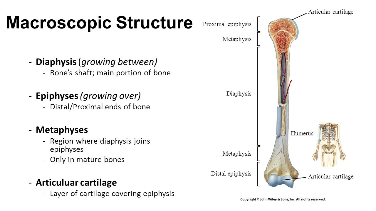 ch 6 3 bone structure macroscopic structure diaphysis growing