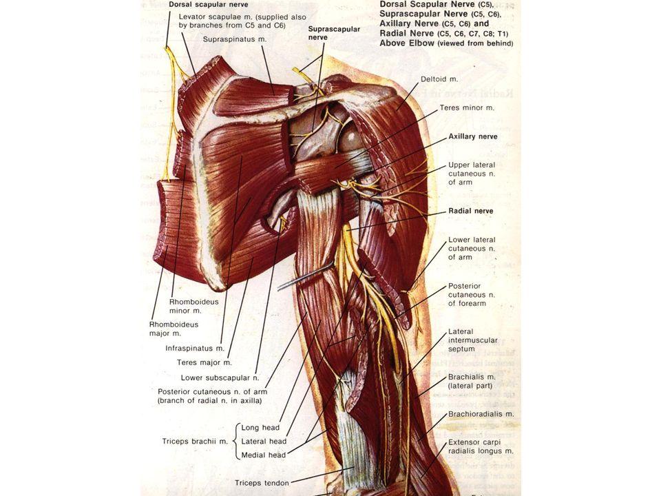 Fifth session Brachial plexus Division of brachial plexus ...