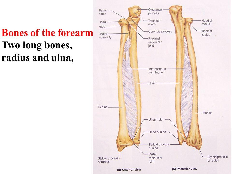 Human anatomy. Bones of Upper Limb Shoulder Girdle Bones of Free ...