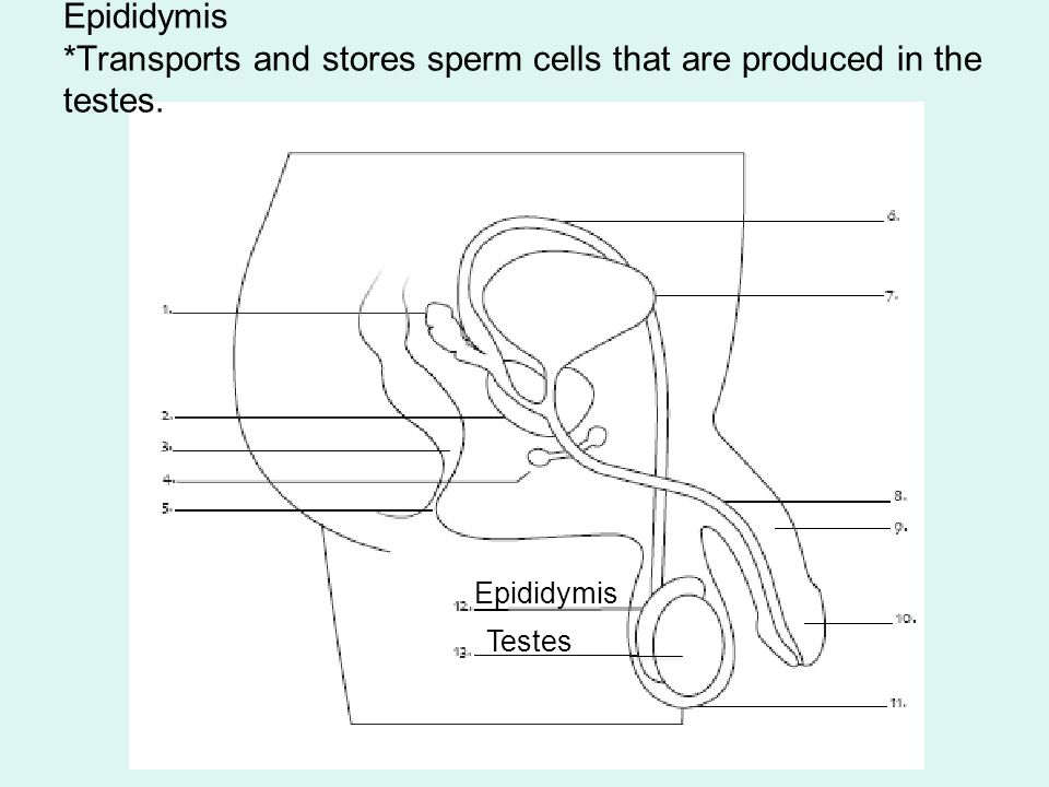 Female And Male Reproductive Systems Reproductive System Organs