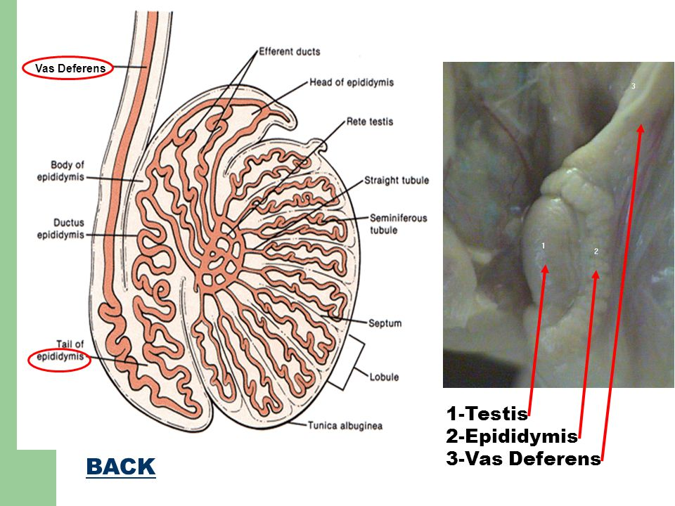 Human Reproductive Systems: Anatomy and Functions. - ppt download