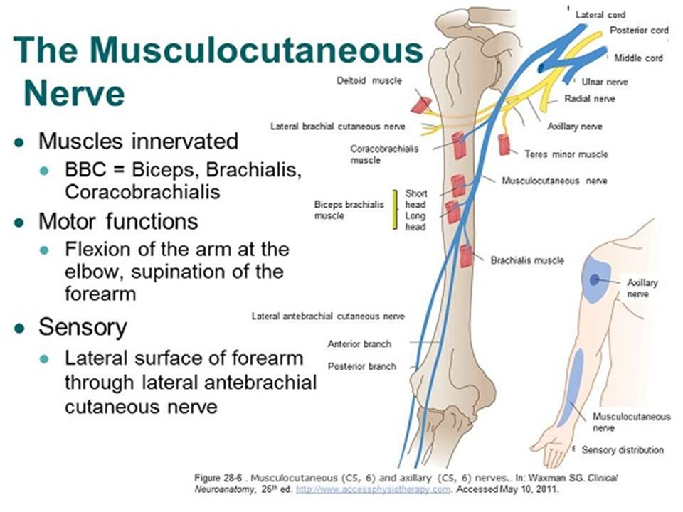 Upper Limb Nerves Part I Dr. Rana Al-tae - ppt video online download