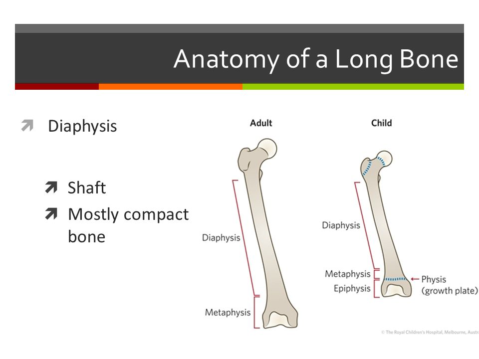the skeletal system 2 anatomy of a long bone diaphysis