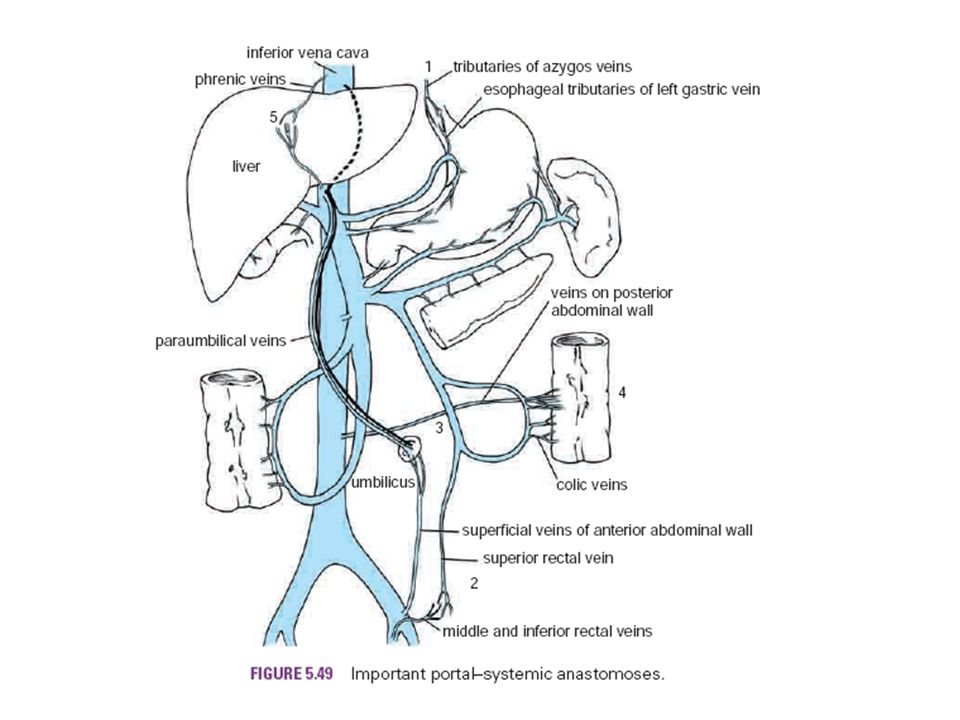 Anatomy Of Liver And Gall Bladder Ppt Video Online Download