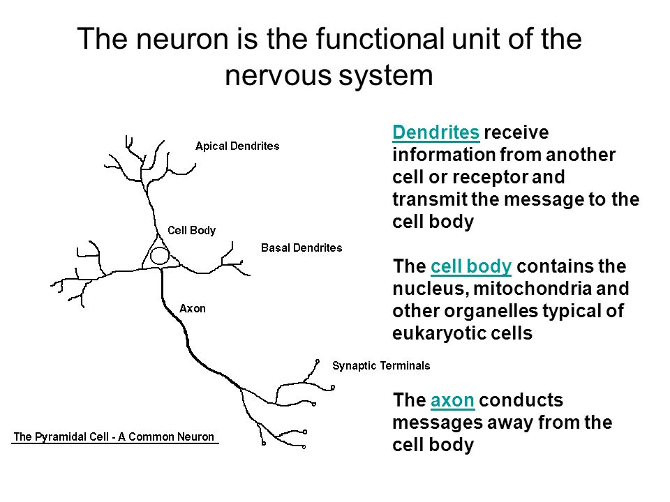 O Ns O Rganization Of The Nervous System Joselito B Diaz Md Fpna