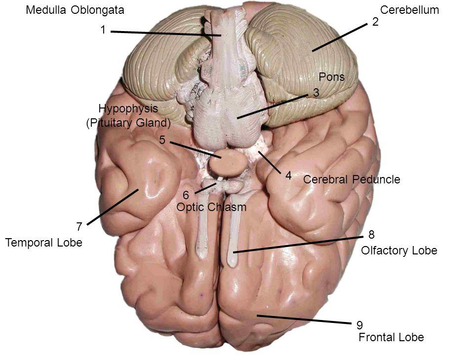 Cerebrum Central Sulcus Occipital Lobe Cerebellum Medulla Oblongata ...