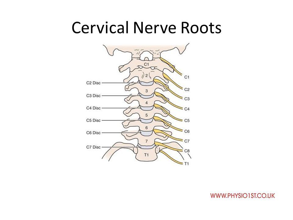 Neuro Anatomy And Neurodynamics Cervical Spine Neuro Anatomy