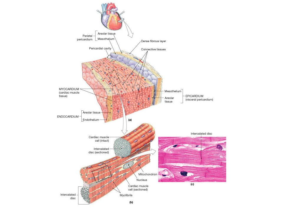 Lab 30. Heart Anatomy. Cardiac muscle slide Look at the slide Sketch ...