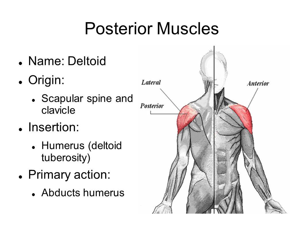 Trunk Muscles. Anterior Muscles Name: Pectoralis Major Origin ...