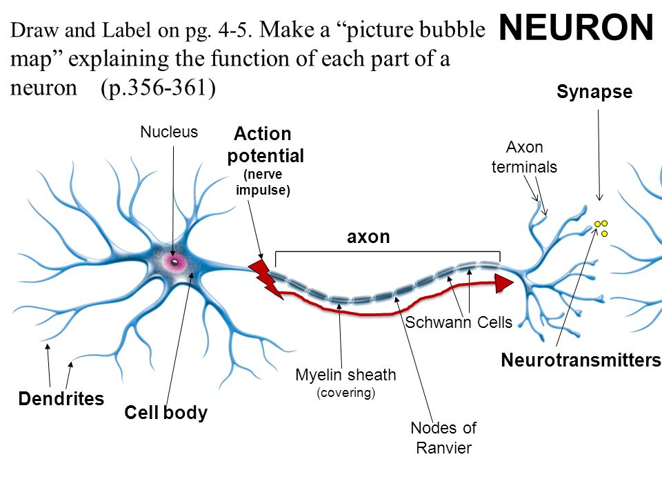 Neuron diagram and label anything wiring diagrams sponge set up cornell notes on pg 5 topic 10 2 neuron structure rh slideplayer com neuron label diagram quiz neuron diagram labeled and functions ccuart Gallery
