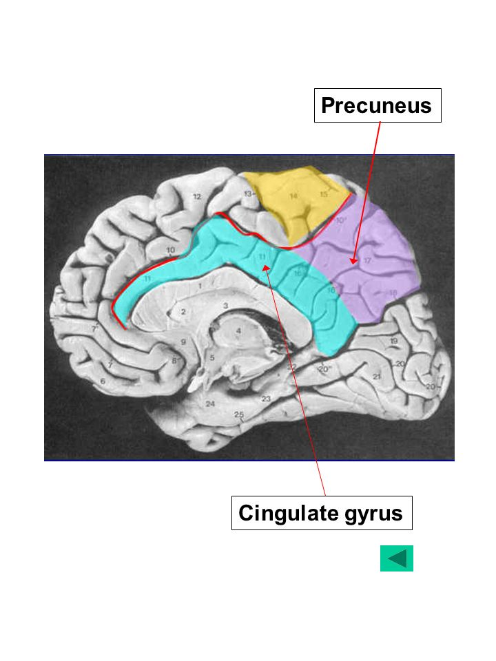 MEMORY SYSTEMS IN THE BRAIN Some Gross Anatomy. The Human Brain ...
