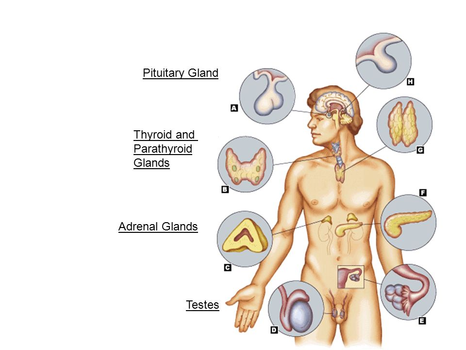 The Endocrine System Pituitary Gland Thyroid And Parathyroid Glands