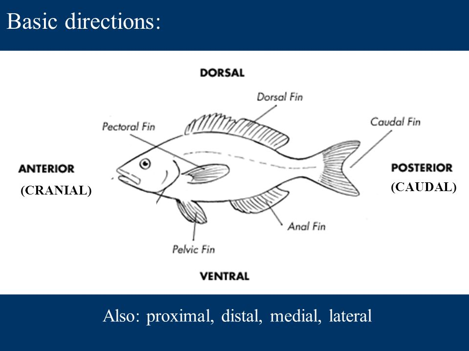 Anatomy Of Fishes Caudal Cranial Also Proximal Distal Medial
