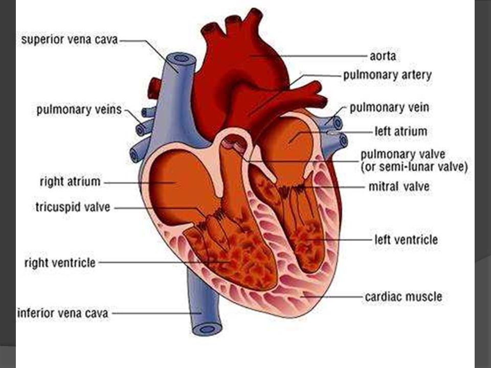 Bill The Circulatory System Blood Flow Heart Blood Pressure Blood