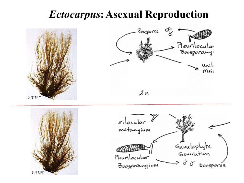 Ectocarpus asexual reproduction