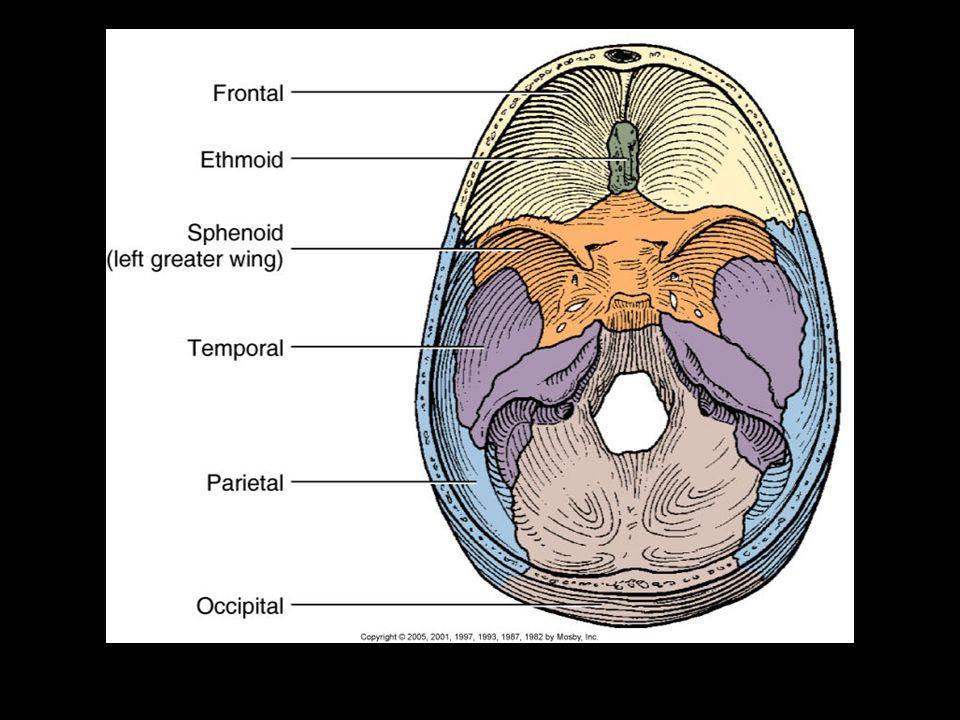 Brain Pathology Review And Anatomy Week 2 Brain Anatomy Review