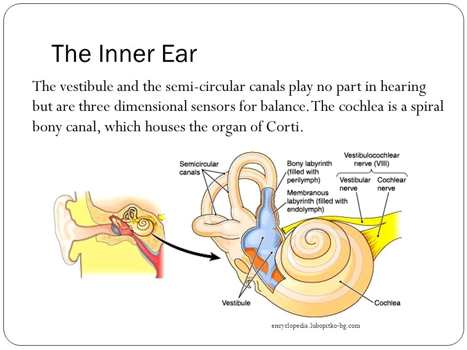 the inner ear the vestibule and the semi-circular canals play no part in  hearing