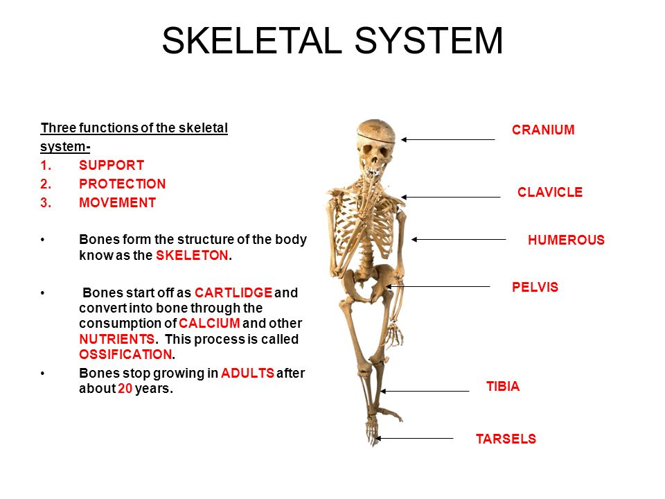 swimming and the skeletal structure biology essay Skeletal muscle is one of the three types of muscles in the human body- the others being visceral and cardiac muscles in this lesson, skeletal muscles, its definition, structure, properties the fascicule is enclosed by perimysium and the endomysium is the connective tissue that encloses the muscle fibers.