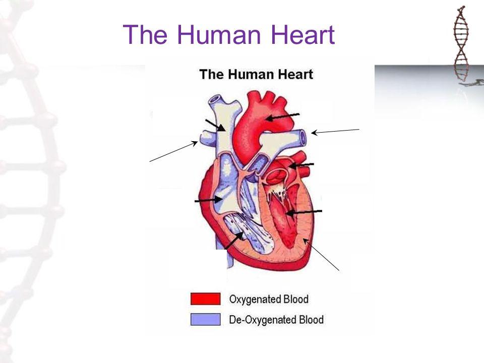 The Human Heart Septum. The Human Heart Pulmonary Artery to left ...