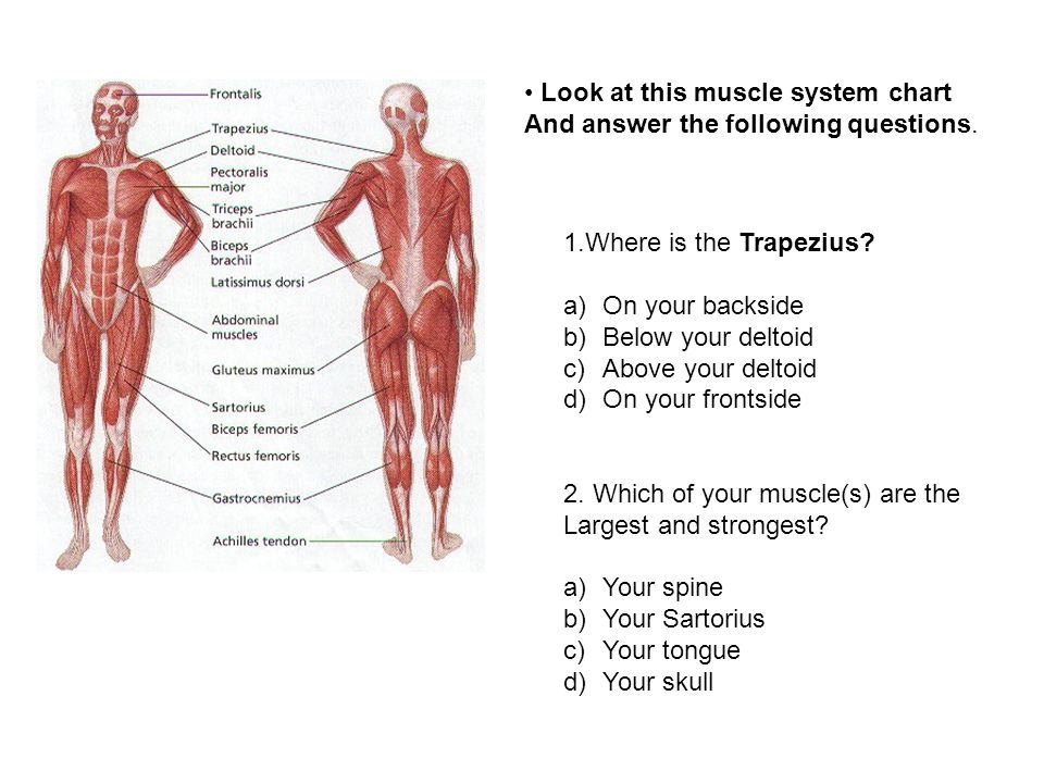 Look At This Muscle System Chart And Answer The Following Questions