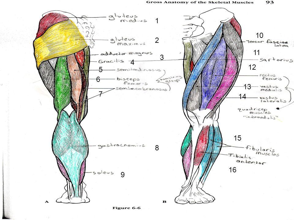 Muscles Muscles In Cranium 1zygomatic 2buccinator 3orbicularis