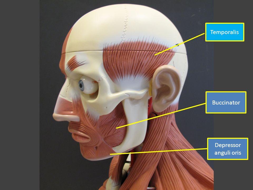 LABELED TORSO MODEL MUSCLES. Temporalis Buccinator Depressor anguli ...