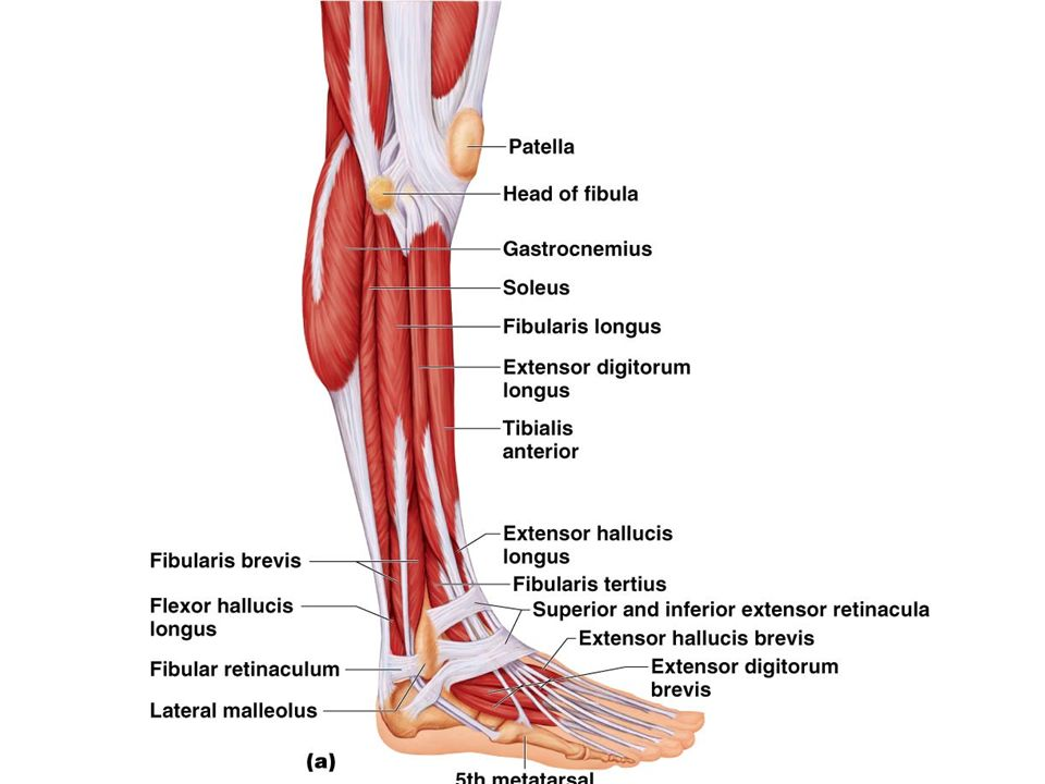 Muscles Of The Foot And Ankle Ppt Video Online Download