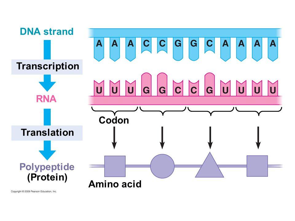 5 polypeptide translation transcription dna strand codon amino acid rna protein