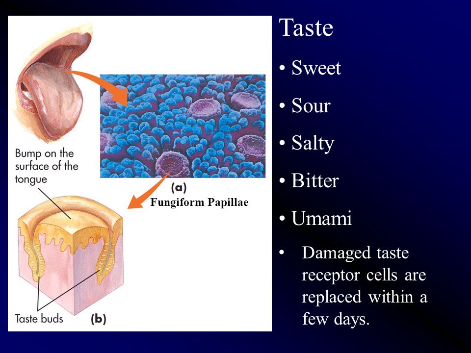 Taste (Gustation). Taste is a chemical sense. Fungiform Papillae ...