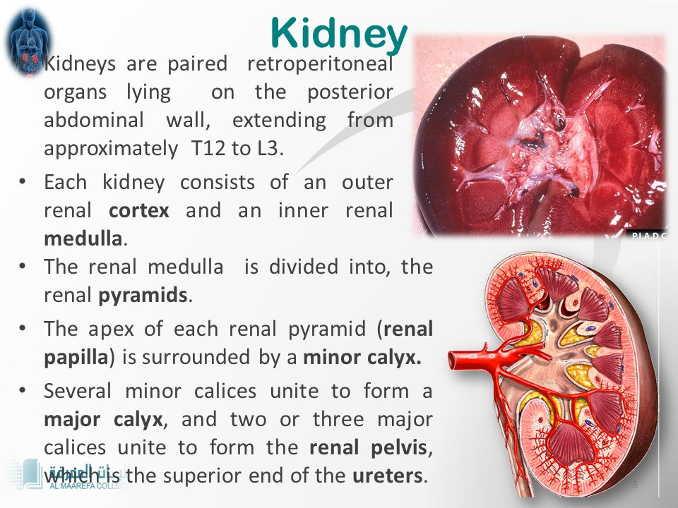 Lecture – 1: Introduction to renal system RENAL SYSTEM PHYSIOLOGY Dr ...