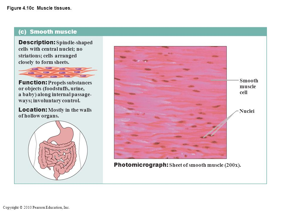 The Following Types Of Muscle Tissue And Nervous Tissue Are Covered