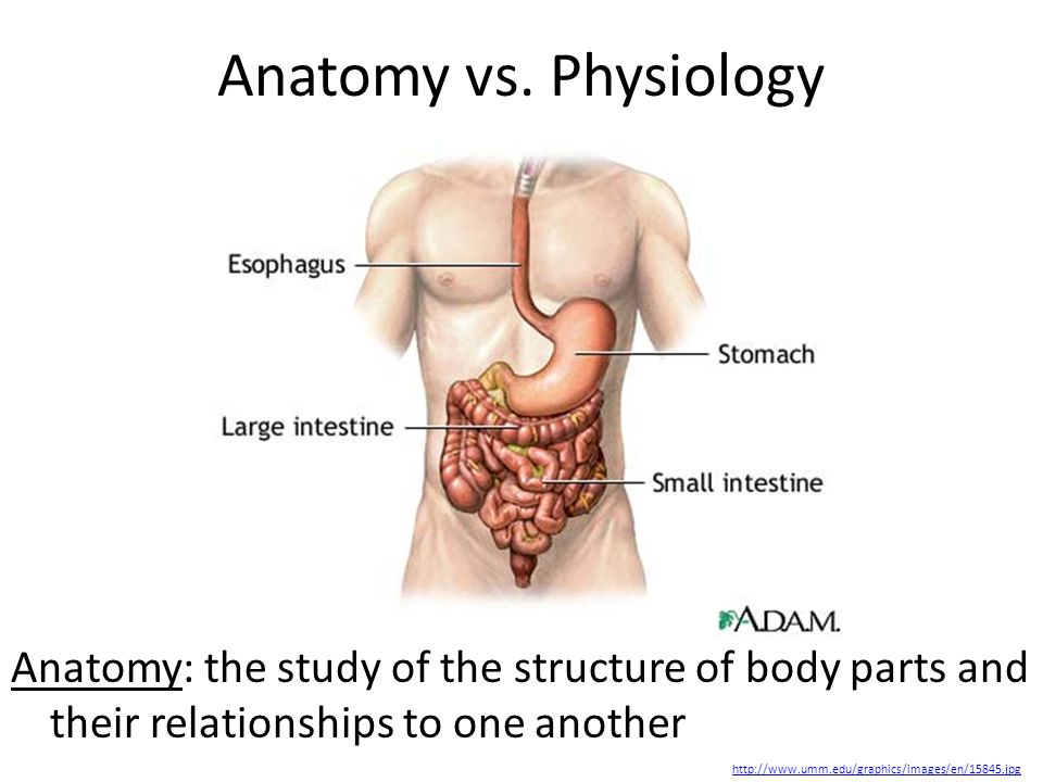 Intro To Anatomy Physiology Anatomy The Study Of The Structure