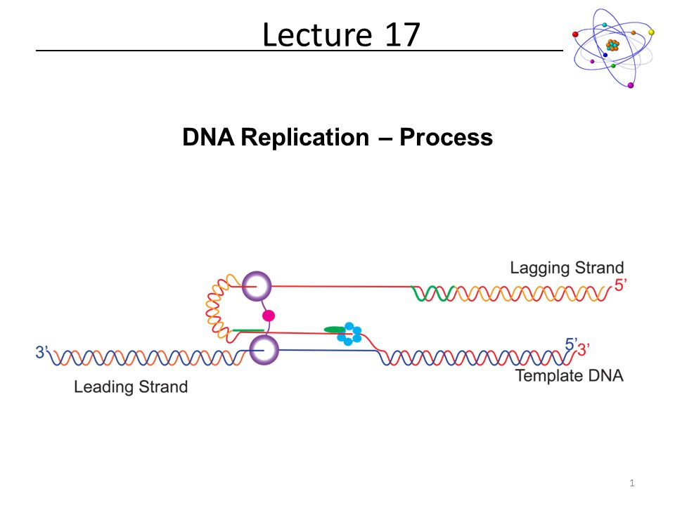 Dna replication process lecture forms of dna helices 2 dna 1 dna replication process lecture 17 1 maxwellsz