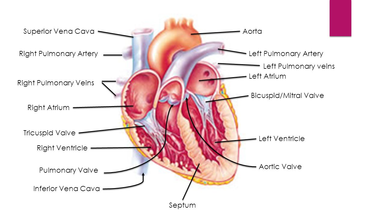 Cardiovascular System I System Anatomy Heart Pumps Blood