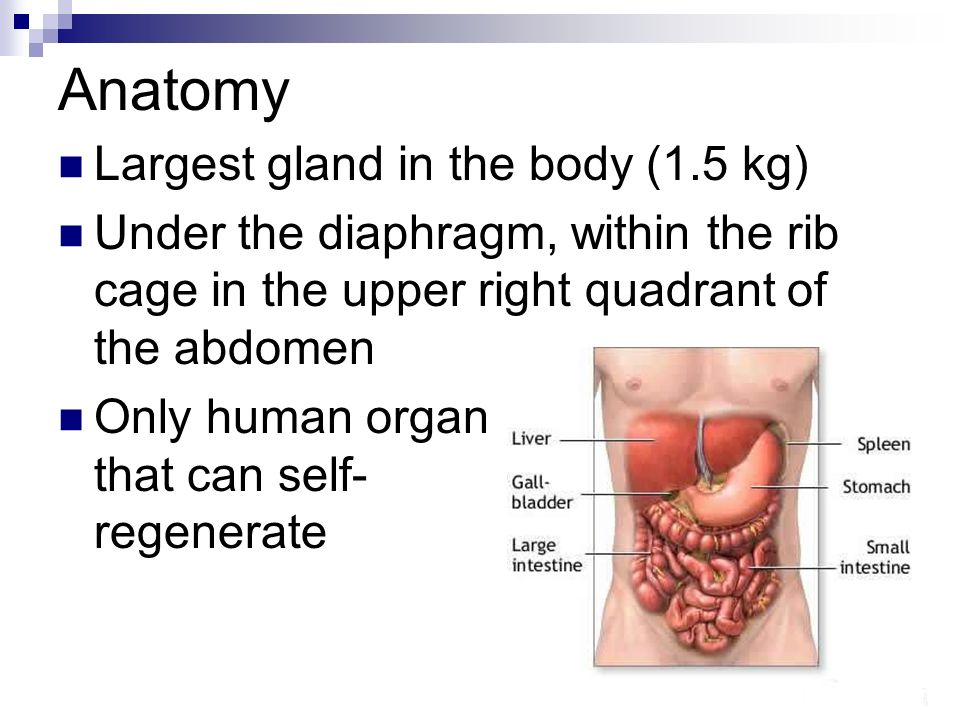 The Liver Anatomy Largest gland in the body (1 5 kg) Under