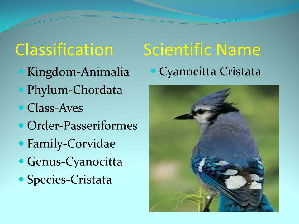 The Blue Jay. Classification Scientific Name Kingdom-Animalia Phylum ...