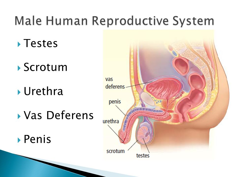 63 Human Reproduction System Testes Scrotum Urethra