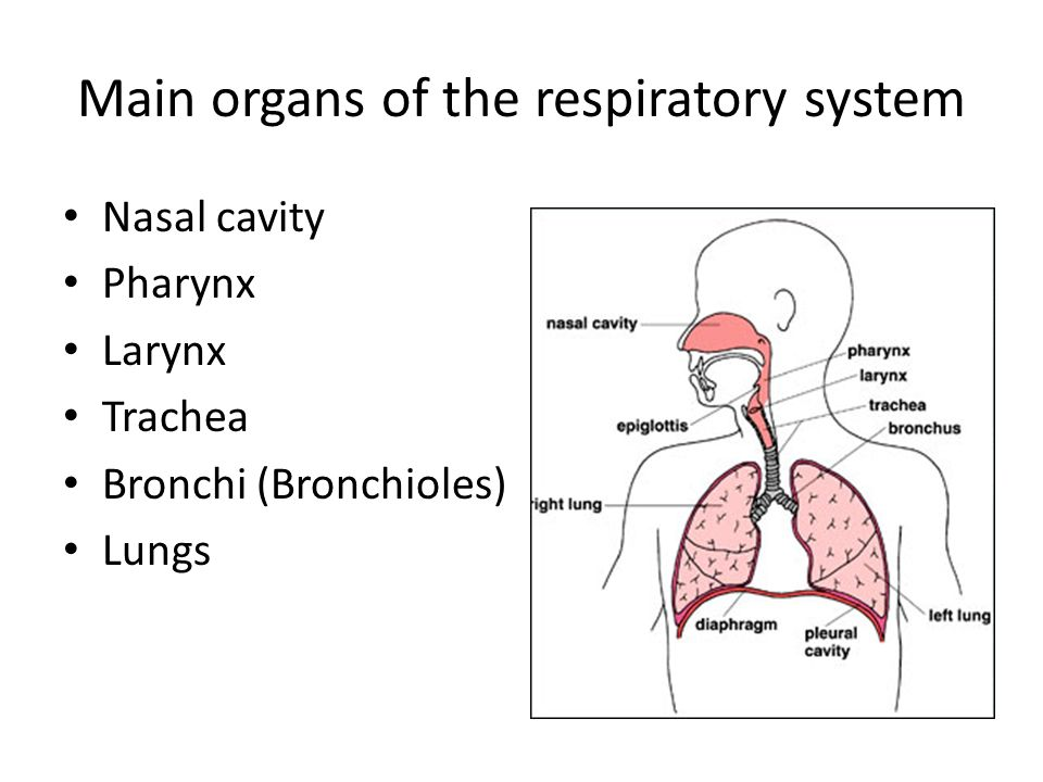 The Respiratory System 7science Why Study The Respiratory System