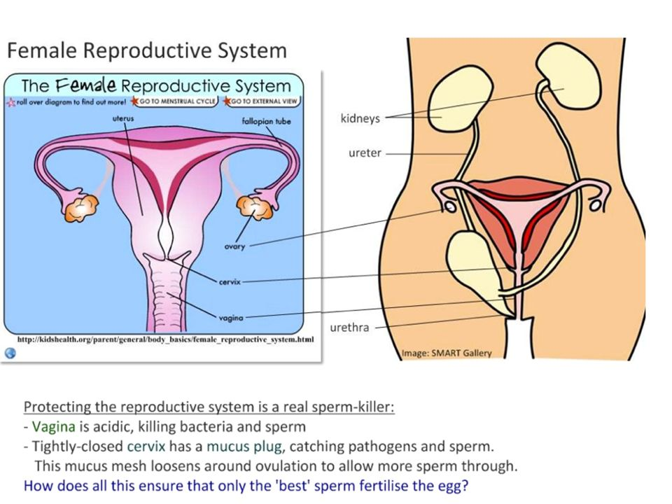 Reproductive Cycles And Patterns Reproduction Is The Production Of