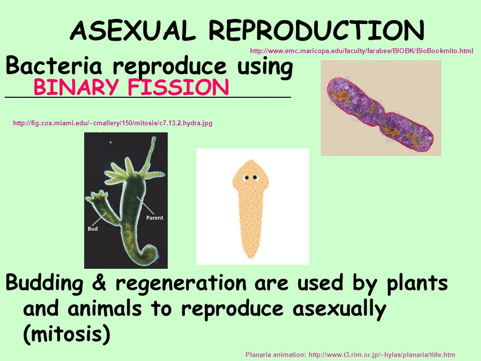 Asexual reproduction budding steps dance