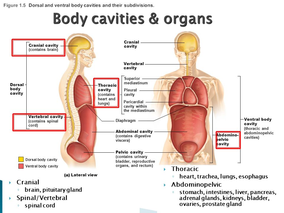 Dorsal Ventral Body Cavity Diagram - DIY Enthusiasts Wiring Diagrams •
