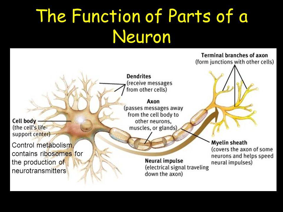 slide_6 unit 3 unit 3 nerve cells and neural pathways cfe higher human