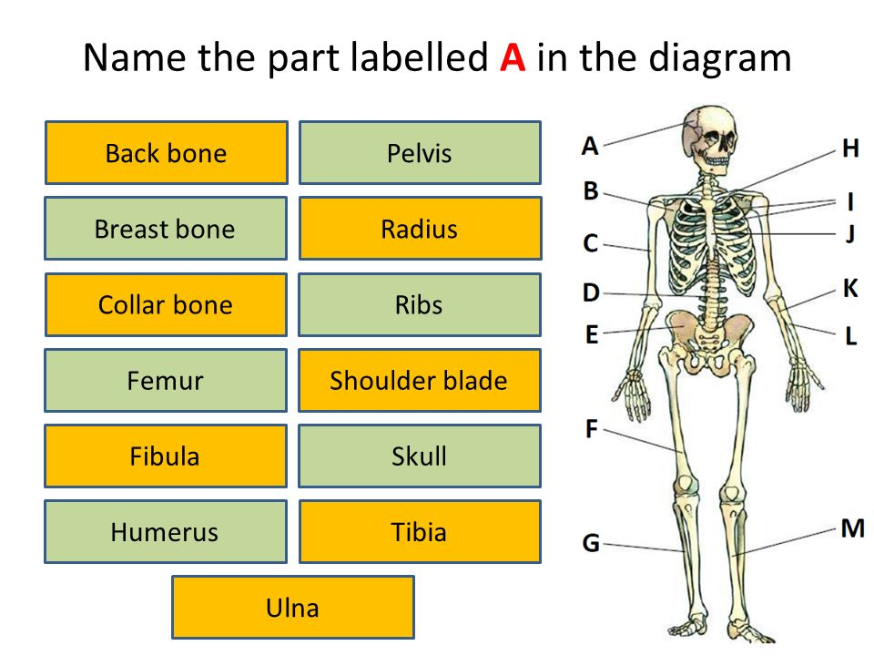 Skeleton iDiagram Activity. Name the part labelled A in the diagram ...