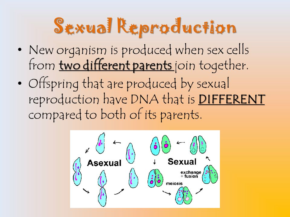 Cells created by sexual reproduction