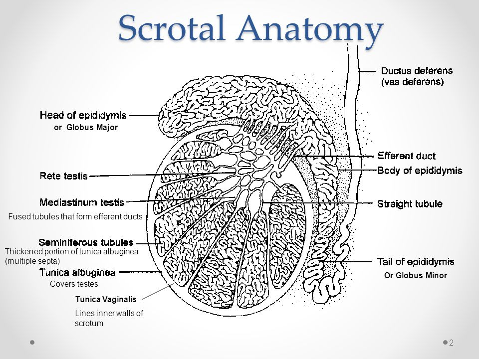 Scrotal Ultrasound Tanya Nolan. 2 Scrotal Anatomy or Globus Major Or ...
