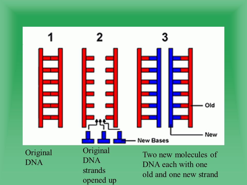 Original DNA Original DNA strands opened up Two new molecules of DNA each with one old and one new strand