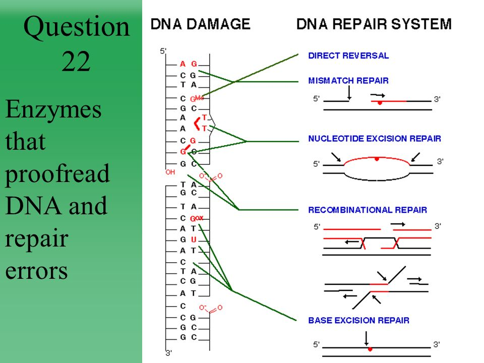 Question 22 Enzymes that proofread DNA and repair errors
