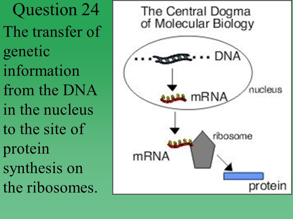 Question 24 The transfer of genetic information from the DNA in the nucleus to the site of protein synthesis on the ribosomes.